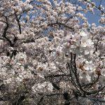 【ブログ】お花見をしました🌸